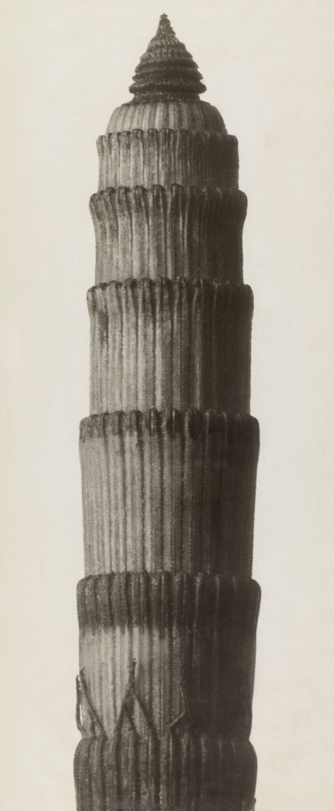 Karl Blossfeldt. 'Equisetum hyemale. Winter Horsetail' before 1929