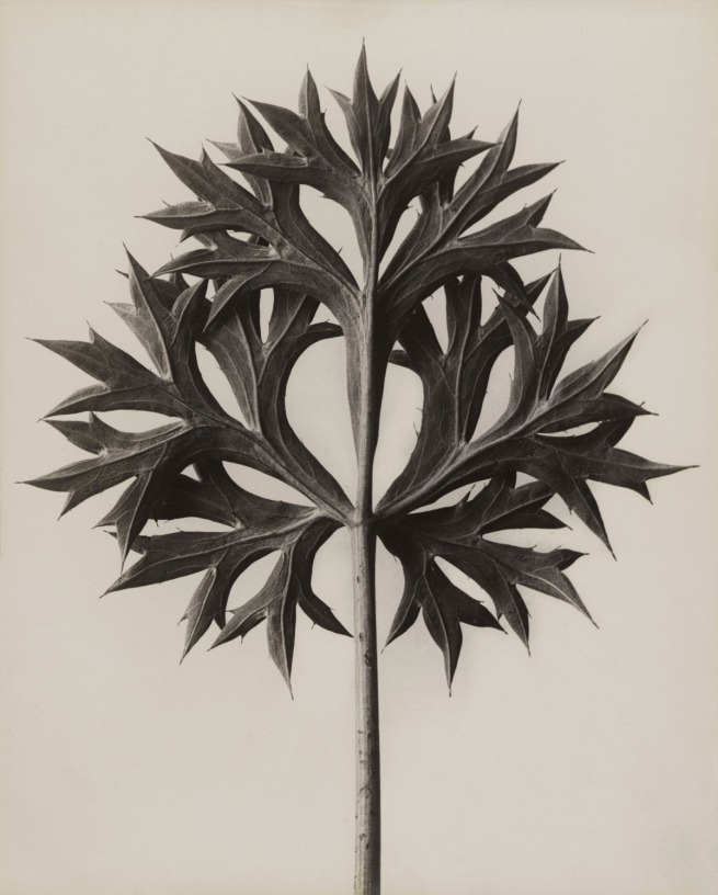 Karl Blossfeldt. 'Eryngium bourgatii. Bourgatis Eryngo' before 1928