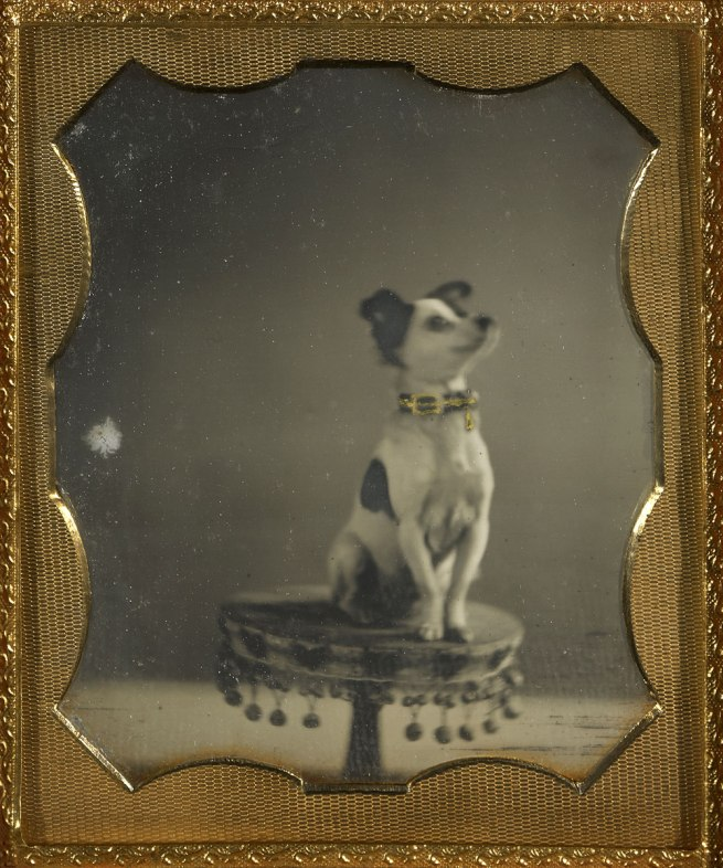 Unknown maker, American. '[Dog sitting on a table]' c. 1854