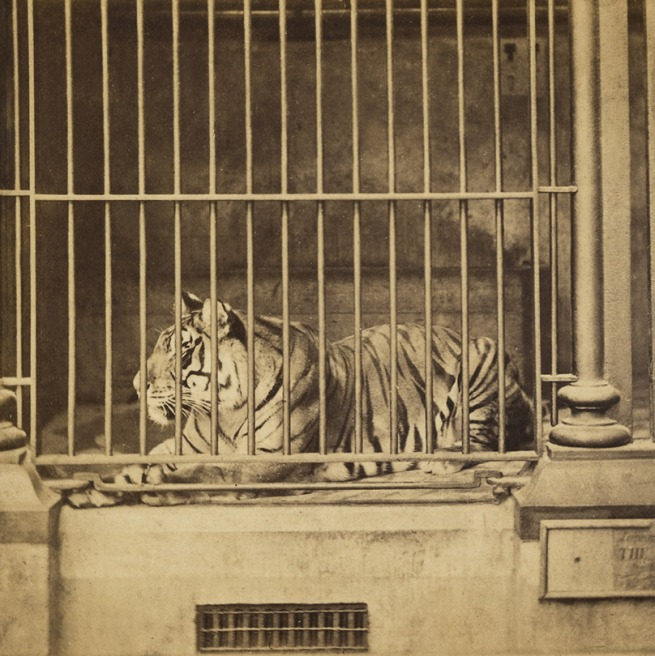 Frank Haes (British, 1832-1916) 'The Tiger. (Felis Tigris.)' c. 1865 (detail)