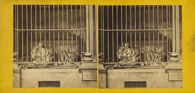 Frank Haes (British, 1832-1916) 'The Tiger. (Felis Tigris.)' c. 1865