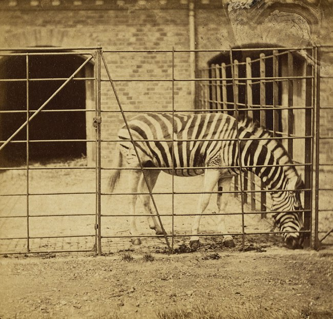 Frank Haes (British, 1832-1916) 'The Zebra, Burchell's, or Dauw. (Asinus Burchellii.)' c. 1865 (detail)