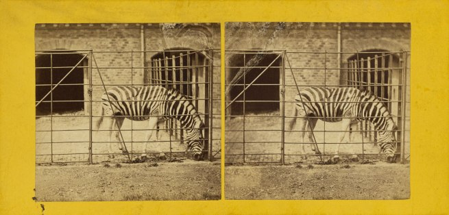 Frank Haes (British, 1832-1916) 'The Zebra, Burchell's, or Dauw. (Asinus Burchellii.)' c. 1865