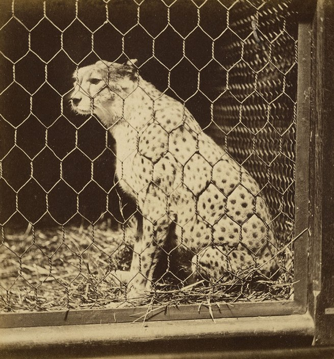 Frank Haes (British, 1832-1916) The South African Cheetah (Felis Jubata.) c. 1865 (detail)