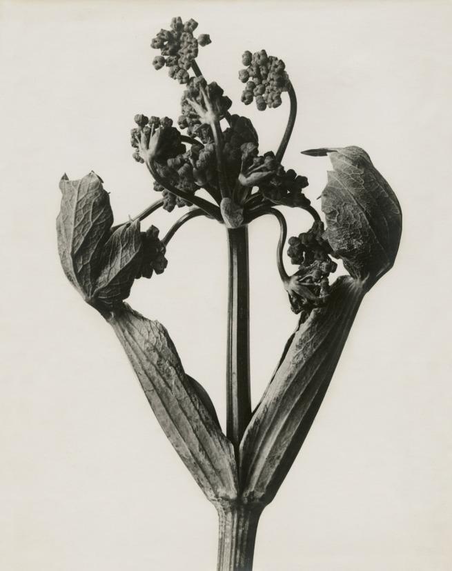 Karl Blossfeldt. Heracleum sphondylium. Hogweed' 1898-1932