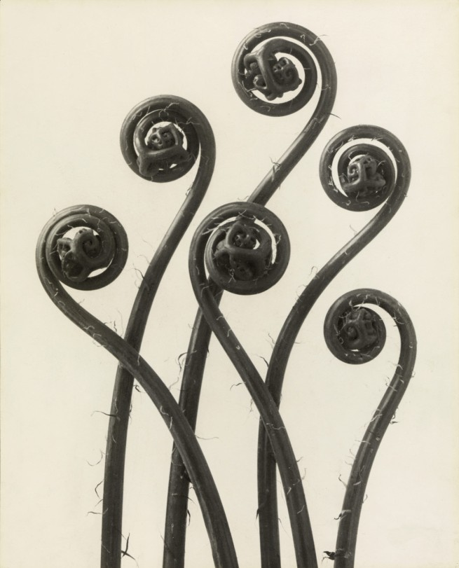 Karl Blossfeldt. 'Adiantum pedatum. Maidenhair Fern' before 1926