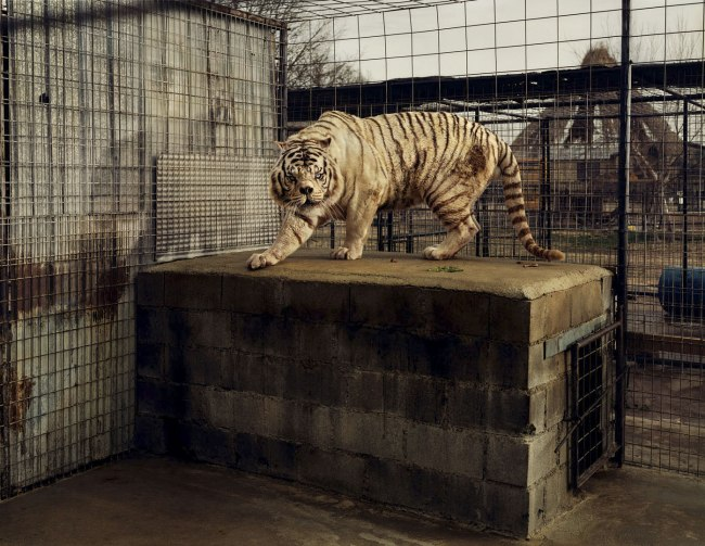 Taryn Simon. 'White Tiger (Kenny)' 2007