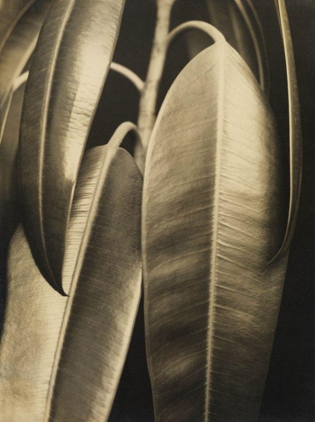 Aenne Biermann Ficus elastic: Rubber Plant (Ficus elastic: Gummibaum), c. 1927