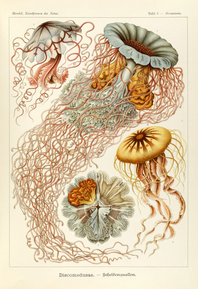 Ernst Haeckel (1834-1919) 'Scyphozoans' 1904