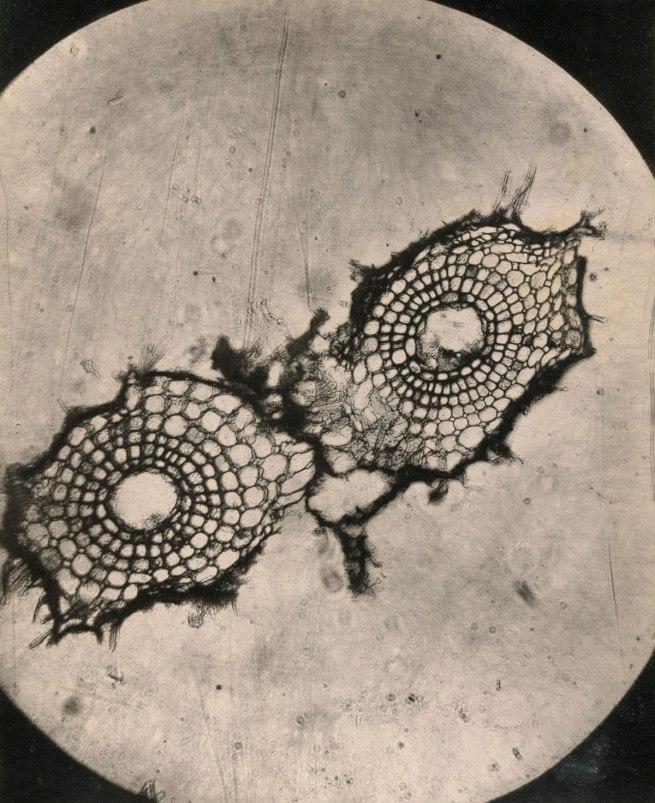 L. Olivier. 'Recherches sur l'appareil tégumentaire des racines Marsilea Quadrifolia' (Photomicrographic plate), 1881
