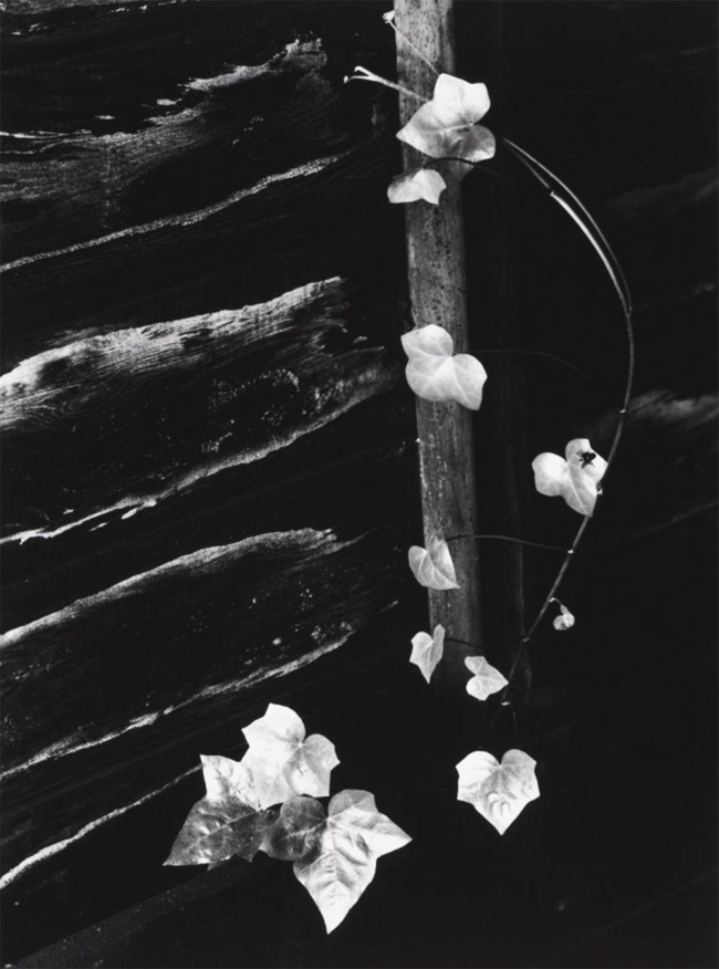 Minor White (American, 1908–1976) 'Ivy, Portland, Oregon' 1964