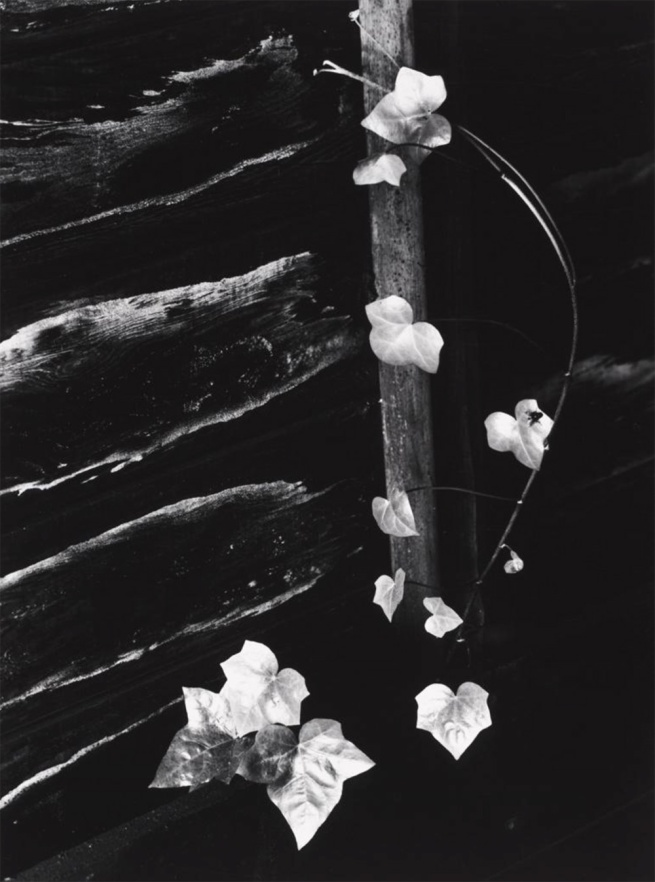 Minor White (American, 1908–1976) 'Ivy, Portland, Oregon' 1964