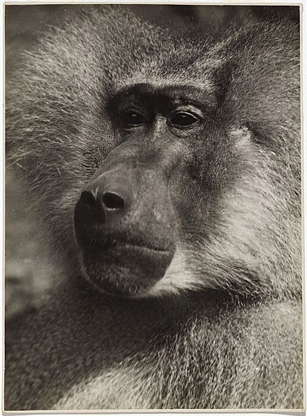 Albert Renger-Patzsch. 'Mantelpavian [Hamadryas Baboon]' c. 1925