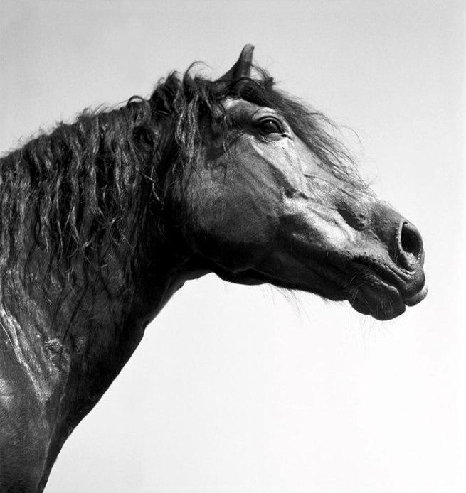 Werner Bischof (1916 - 1954) 'Stallion Remus' Avenches, Switzerland 1944