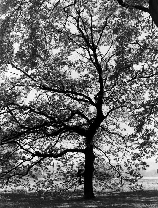 Werner Bischof (1916 - 1954) 'Oak Tree' Switzerland, c. 1941