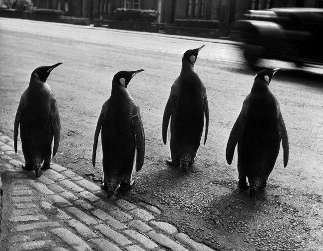 Werner Bischof (1916 - 1954) 'Penguins of Edinburgh Zoo on a walk' 1950
