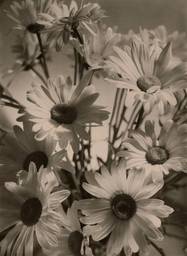 Olive Cotton (Australian, 1911 - 2003) 'Shasta daisies' 1937