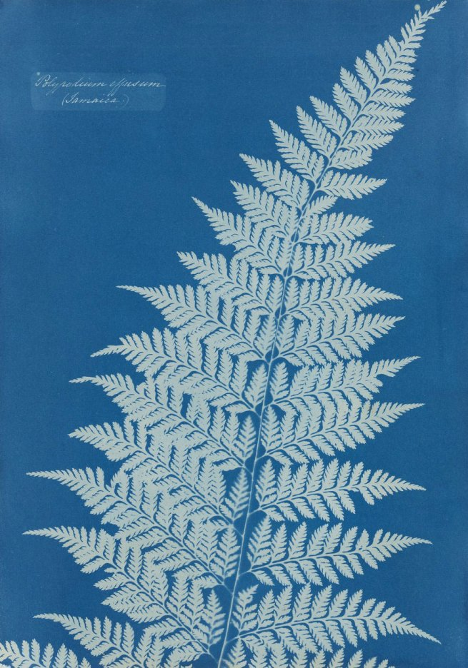 Anna Atkins (UK) 'Untitled' (from the disassembled album 'Cyanotypes of British and Foreign Flowering Plants and Ferns') c. 1854