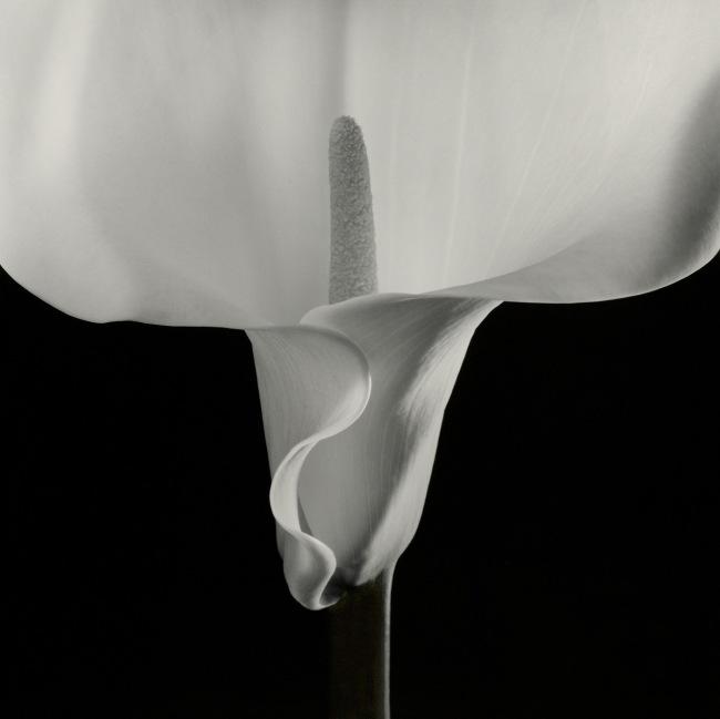 Robert Mapplethorpe (American, 1946-1989) 'Calla Lily' 1988