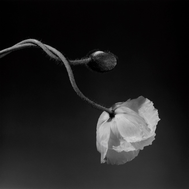 Robert Mapplethorpe (American, 1946-1989) 'Poppy' 1988