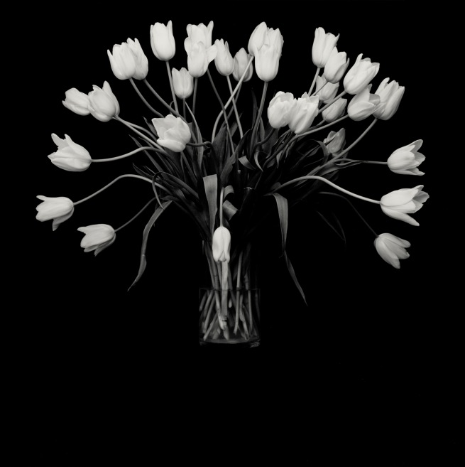 Robert Mapplethorpe (American, 1946-1989) 'Tulips' 1988
