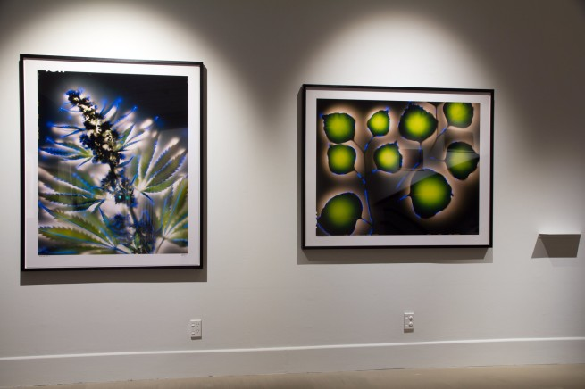 Installation view of Robert L. Buelteman. 'Cannabis sativa' 2002 (left) and 'Eucalyptus polyanthemos' 2000 (right)