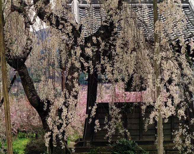 Ken Domon. 'Ōnodera, campana e ciliegi [Onodera, bell and cherry trees]' 1977