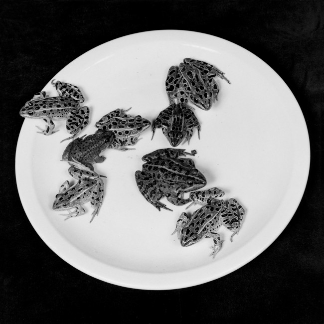 Robert Mapplethorpe. 'Frogs' 1984