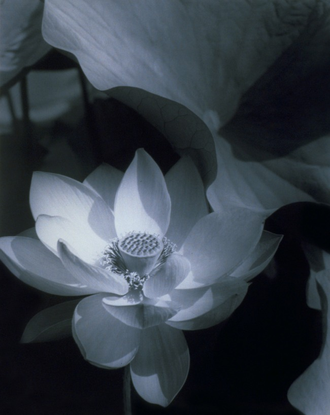Edward Steichen (1879-1973) 'Lotus, Mount Kisco, New York' 1915; printed 1982