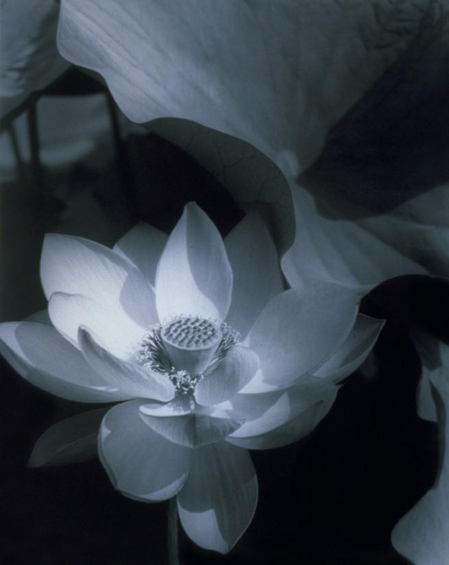 Edward Steichen (1879-1973) 'Lotus, Mount Kisco, New York' 1915; printed 1982