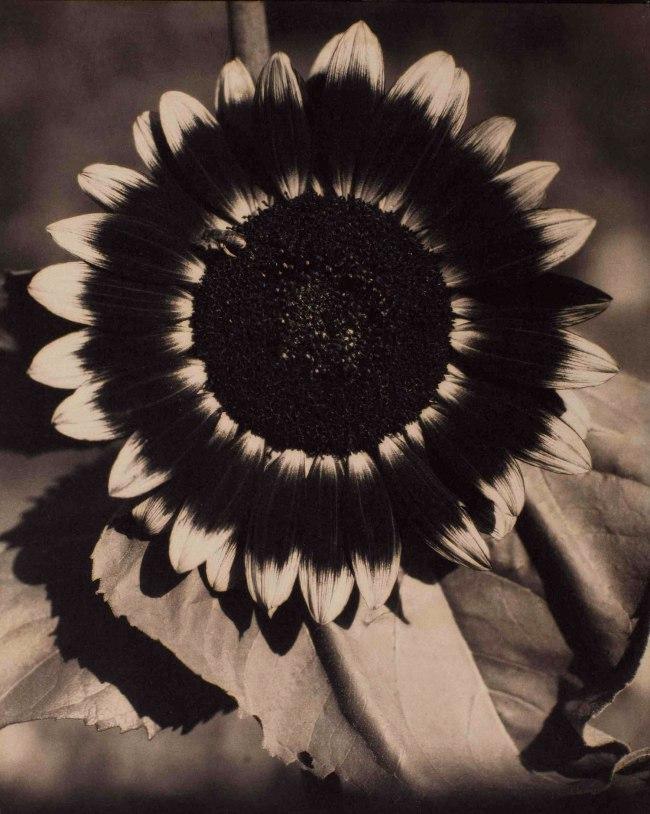 Edward Steichen. 'A Bee on a Sunflower' c. 1920