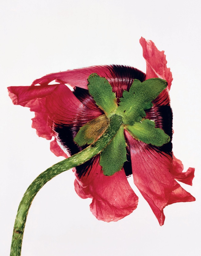 Irving Penn (American, Plainfield, New Jersey 1917-2009 New York) 'Single Oriental Poppy, New York' 1968, printed 1989
