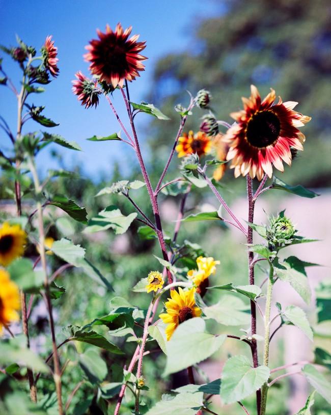 Thomas Struth(born 1954) 'Bright sunflower - No. 1, Winterthur' 1991