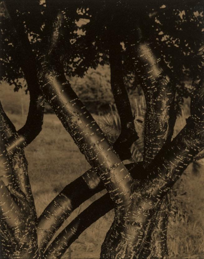 Alfred Stieglitz (American, 1864-1946) 'Dancing Trees' 1922