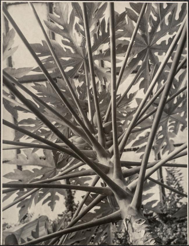 Albert Renger-Patzsch (1897-1966) 'Brasilianischer Melonenbaum von unten gesehen[Brazilian melon tree seen from below]' 1923