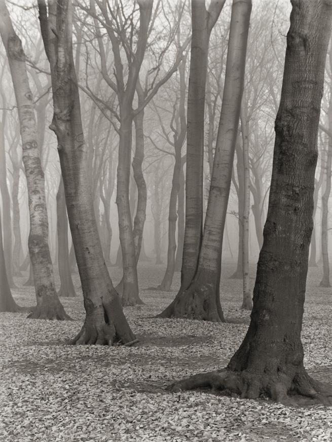 Albert Renger-Patzsch (1897-1966) 'Buchenwald [Beech forest]' 1936