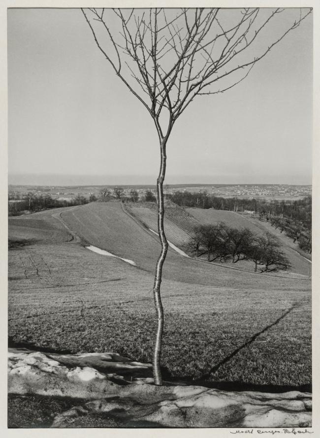 Albert Renger-Patzsch (1897-1966) 'Das Bäumchen [Sapling]' 1928