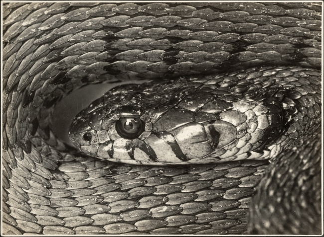 Albert Renger-Patzsch (1897-1966) 'Natterkopf [Head of an adder]' 1925