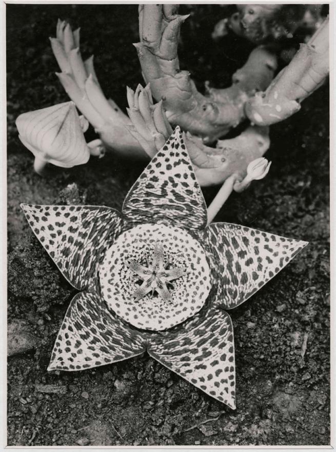 Albert Renger-Patzsch (1897-1966) 'Stapelia variegata, Asclepiadaceae' 1923