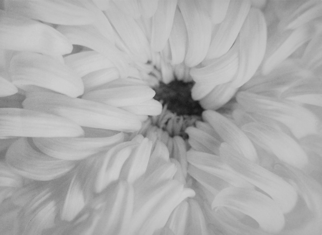 Raoul Hausmann (1886-1971) 'Untitled (Chrysanthemum flower)' Between 1927 and 1933