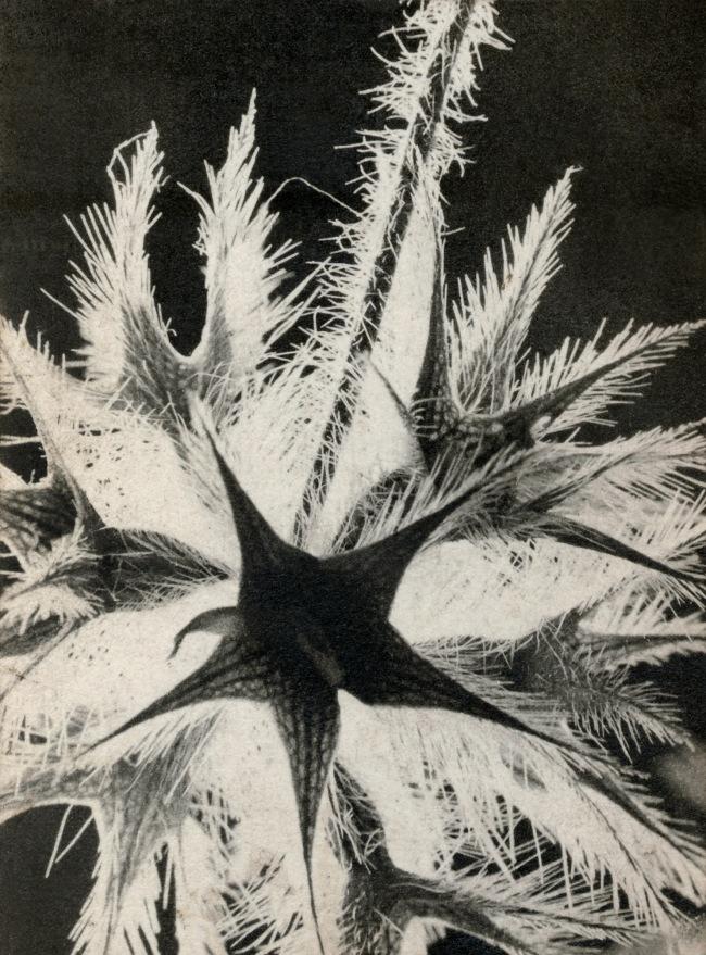 Raoul Hausmann (1886-1971) 'Untitled (Thistle)' 1932