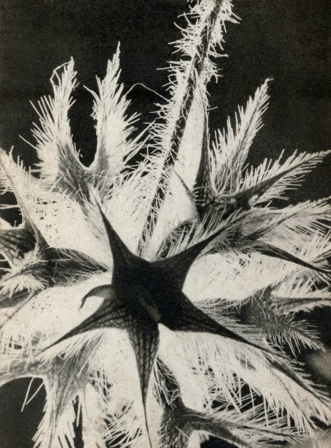 Raoul Hausmann (1886-1971) 'Untitled (Thistle)' 1932