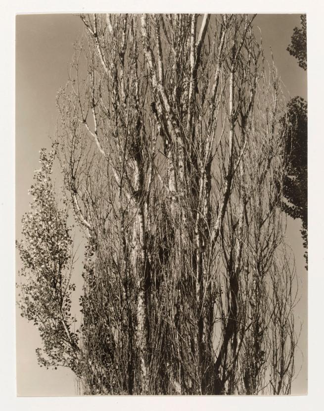 Alfred Stieglitz. 'Poplars, Lake George' 1932