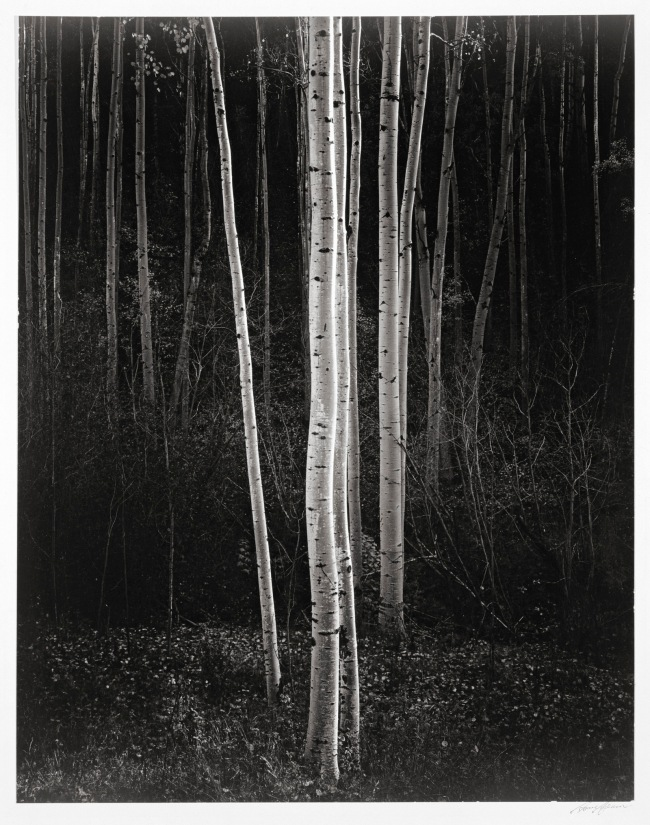 Ansel Adams. 'Aspens, Northern New Mexico' 1958