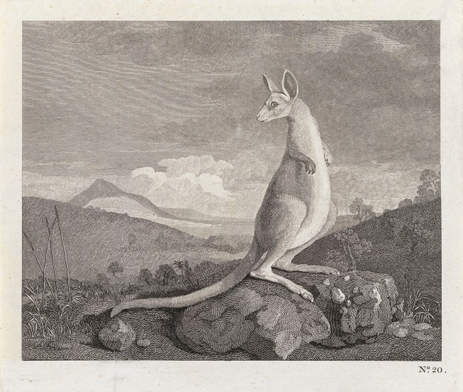 Unknown. 'The kanguroo, an animal found on the coast of New Holland' 1773