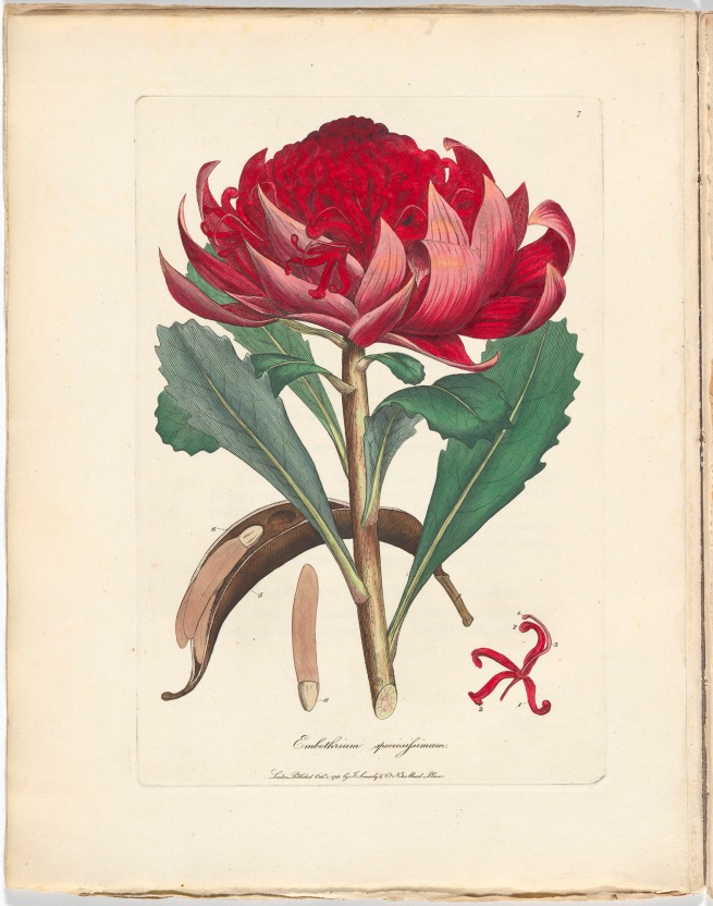 James Sowerby. 'Embothrium speciosissimum (now Telopea speciosissima)' 1793