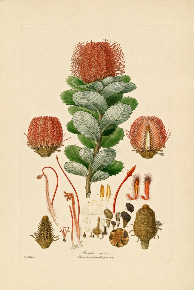 Ferdinand Bauer. 'Banksia coccinea' 1806-13