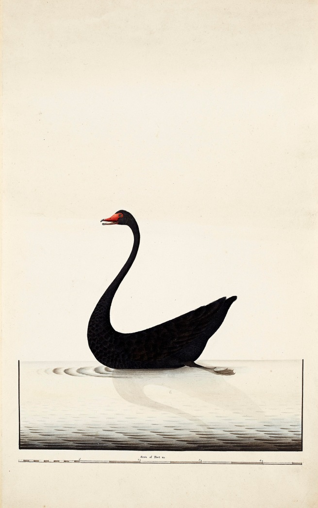 Sydney Bird Painter. 'Black Swan' c. 1790