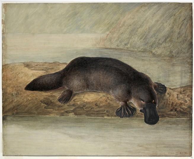 John Lewin (England 1770 - Australia 1819, Australia from 1800) 'Platypus' 1810