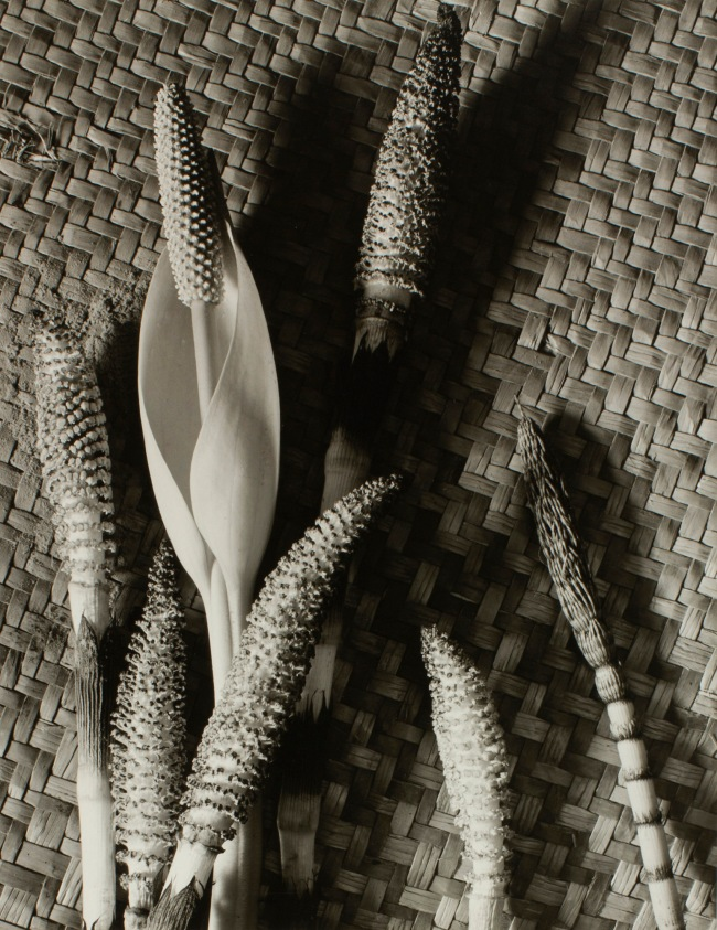 Minor White (American, 1908-1976) 'Horsetail and Skunk Cabbage' 1940